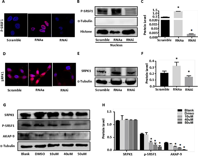 MALAT1 enhances AKAP-9 expression by promoting SRPK1-mediated SRSF1 protein phospholation.