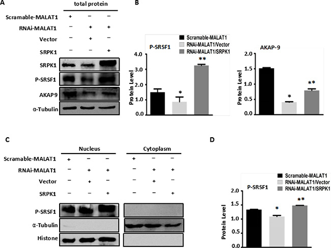 Overexpression of SRPK1 in MALAT1-deficient SW480 cells (RNAi-MALAT1) restored AKAP-9 expression by reversing the level of SRSF1 phosphorylation.
