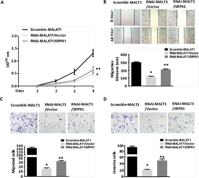 Overexpression of SRPK1 in MALAT1-deficient (RNAi-MALAT1) SW480 cells restored cell proliferation, migration and invasion inhibited by MALAT1 knockdown.