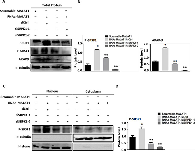 Knockdown of SRPK1 in MALAT1-activated SW480 cells (RNAa-MALAT1) attenuated AKAP-9 expression by attenuating the level of SRSF1 phosphorylation.