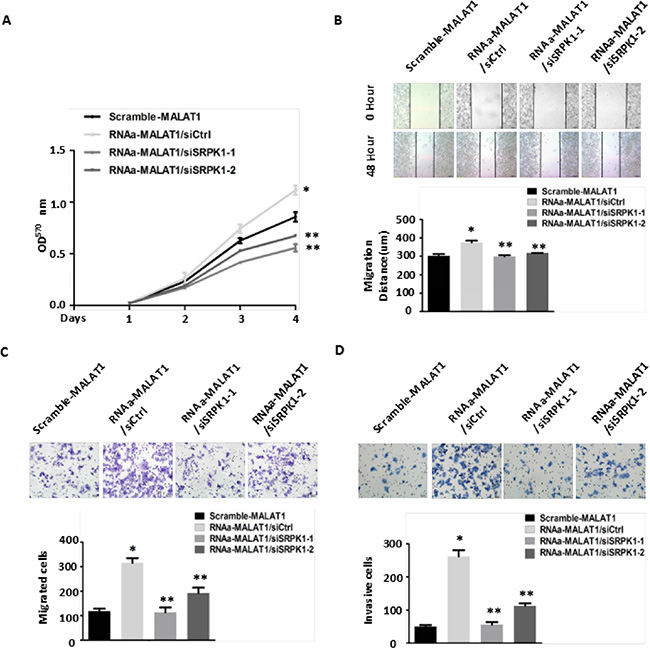 Knockdown of SRPK1 in MALAT1-activated (RNAa-MALAT1) SW480 cells attenuated cell proliferation, migration and invasion induced by MALAT1 overexpression.