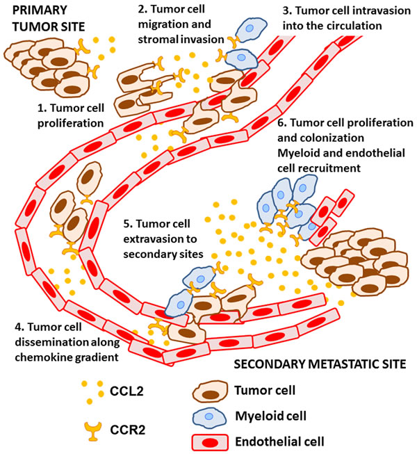 The role of CCL2-CCR2 signaling during the metastatic process.