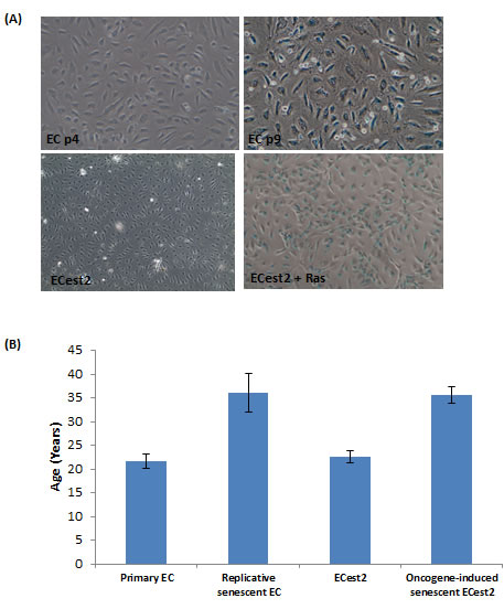 Replicative senescence and oncogene-induced senescence are accompanied by biological ageing.