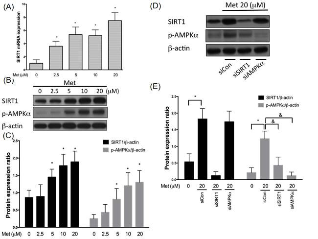 Metformin enhances SIRT1 expression through AMPK independent mechanism.
