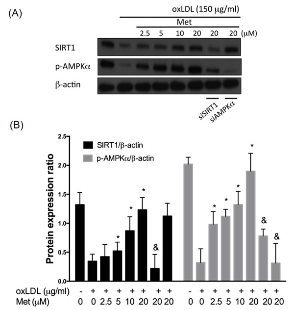 Metformin protects against oxLDL-impaired SIRT1 level.