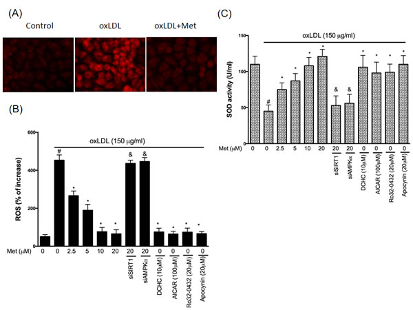 Metformin repressed oxLDL-induced oxidative stress in endothelial cells.