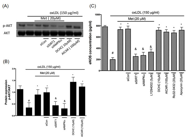 Metformin protects against oxLDL-repressed AKT and eNOS expression.
