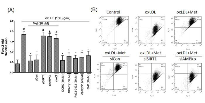 Metformin represses oxLDL-elevated Ca