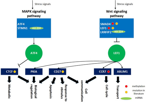 The role of miRNA regulation and DNA methylation in gender specific aging mechanisms based on the specific core GEN of old men.