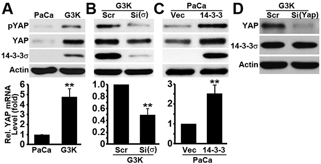Expression and regulation of YAP1.