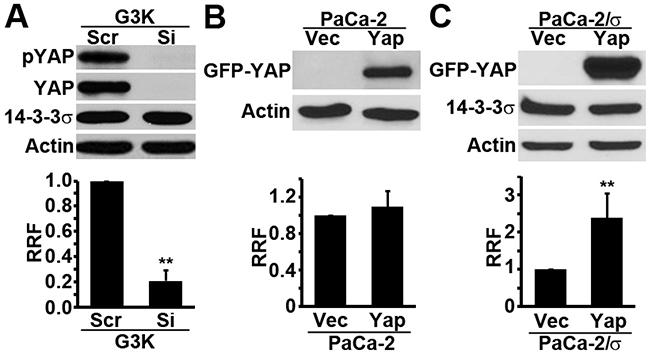 Role of YAP1 in gemcitabine resistance.