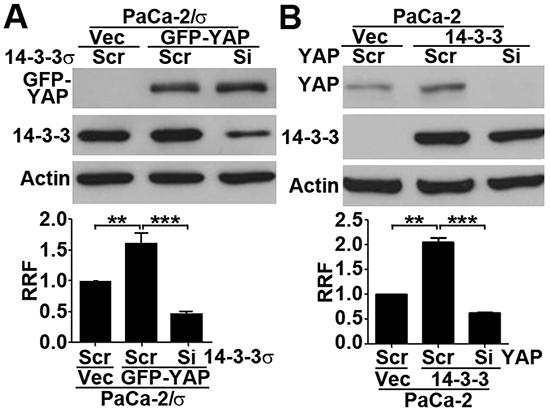 14-3-3σ and YAP1 are inter-dependent in gemcitabine resistance.