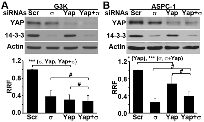 Both 14-3-3σ and YAP1 are required for their role in gemcitabine resistance.