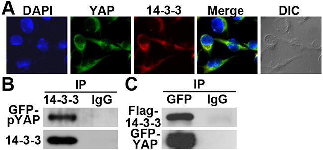 14-3-3σ co-localization and interaction with YAP1.