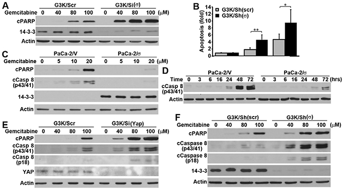 Role of 14-3-3σ and YAP1 in gemcitabine-induced apoptosis and caspase-8 activation.