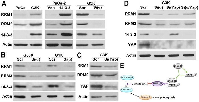 Regulation of RRM1 and RRM2 expression by 14-3-3σ/YAP1.
