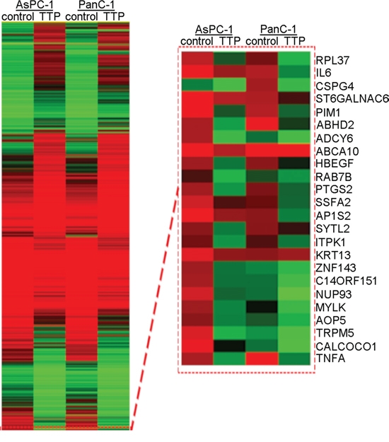 RNA-seq analysis of candidate genes in TTP over-expressing PanC-1 and AsPC-1 cells.