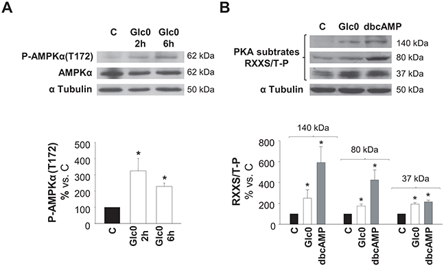 AMPK and PKA activation during glucose restriction.