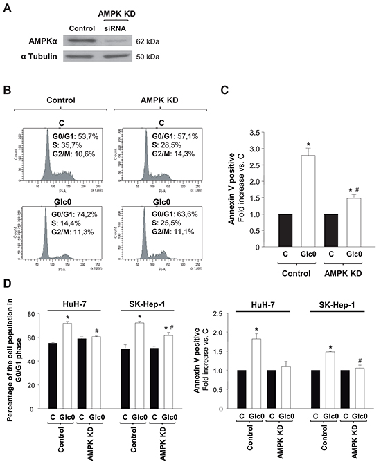 Effects of AMPK knock down on cell cycle progression and cell death during glucose deprivation in liver cancer cells.