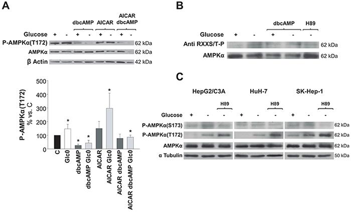 Regulation of AMPK activation by PKA phosphorylation in hepatic cancer cells.
