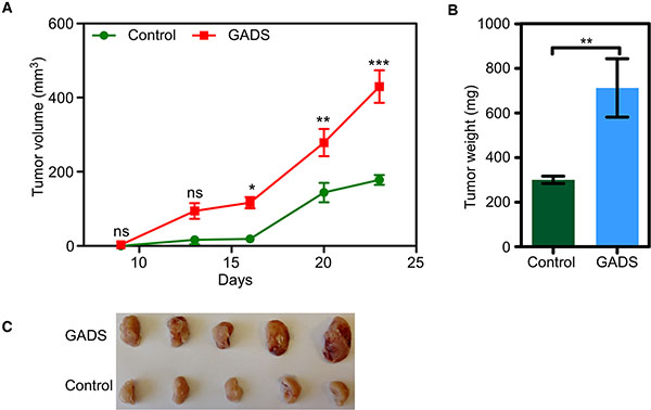 GADS enhances tumor growth in a mouse xenograft model.
