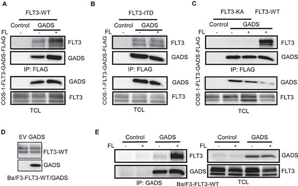 GADS binds with FLT3 in response to ligand stimulation.