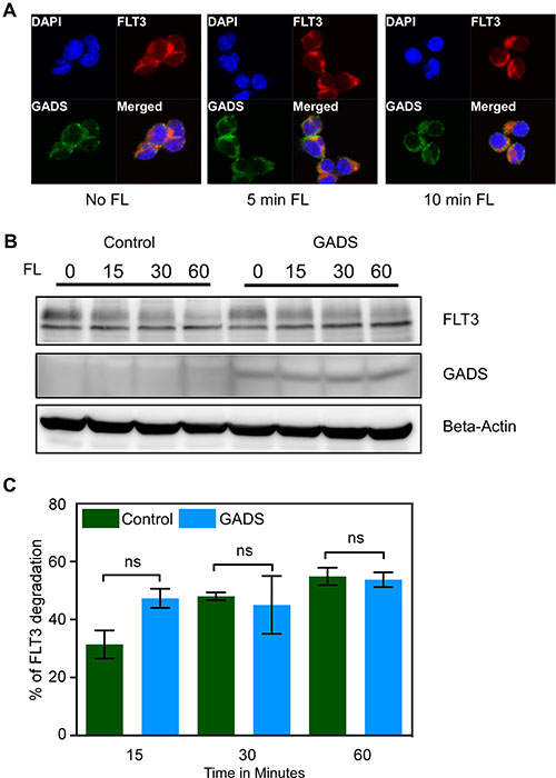 GADS localized with FLT3 to the cell surface but did not alter FLT3 stability.