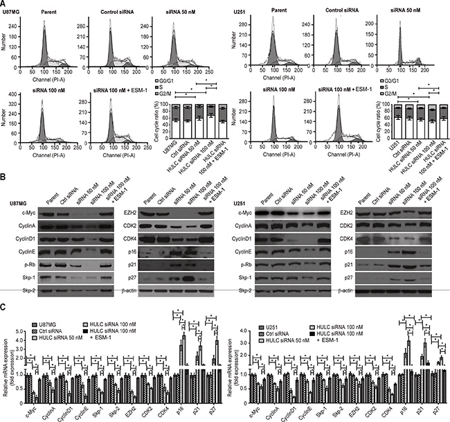 Effect of HULC on the cell cycle of glioma cells in vitro.