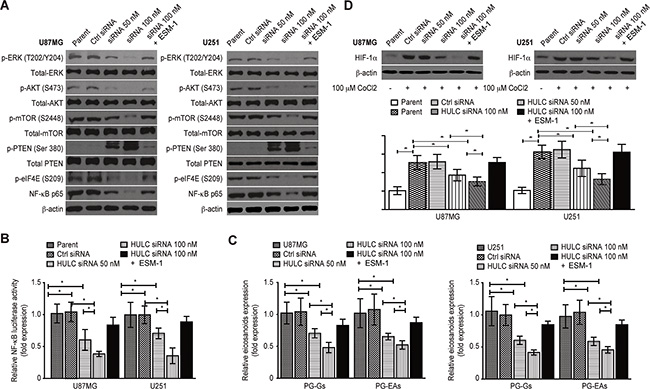 HULC activates the PI3K/Akt/mTOR signaling pathway and up-regulates the expression of HIF-1α in a hypoxic environment in vitro.