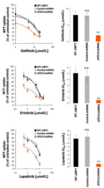 Impact of shRNA-driven genetic ablation of ATG12 on the efficacy of HER1/2-tyrosine kinase inhibitors in vitro.