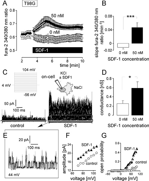 SDF-1 elicits Ca2+ signals and mimics the effect of IR on BK channel activity and migration in T98G cells.