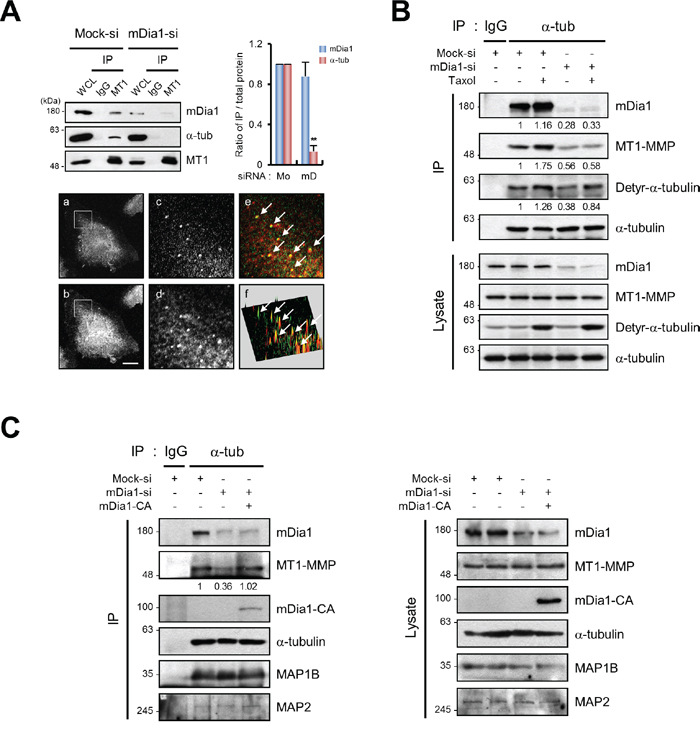 mDia1 regulates interaction between MT1-MMP and microtubules.