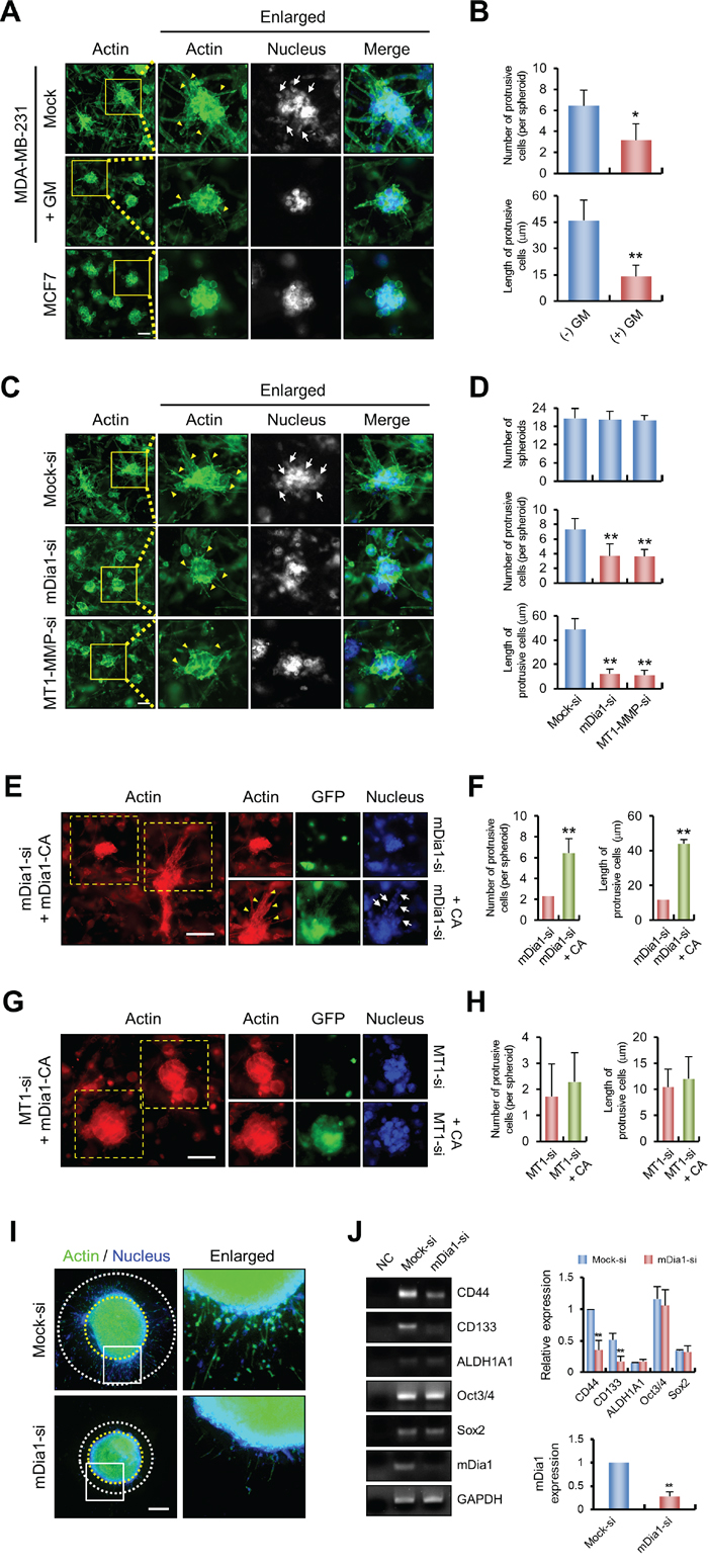 mDia1 is required for breast cancer invasion in 3D environments.