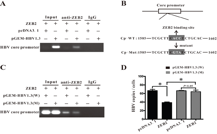 ZEB2 regulated HBV replication by interacting with HBV core promoter.