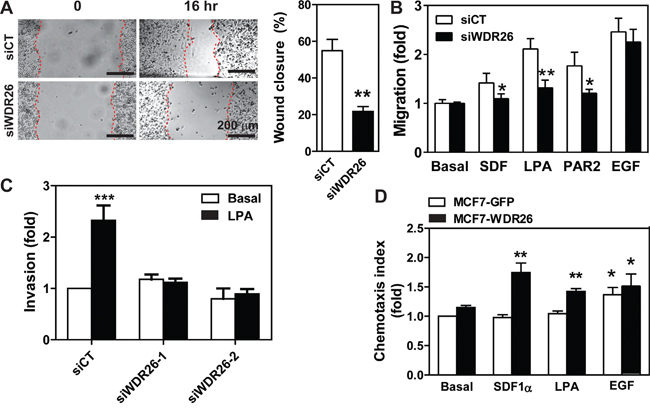 WDR26 promotes breast cancer cell migration and invasion.
