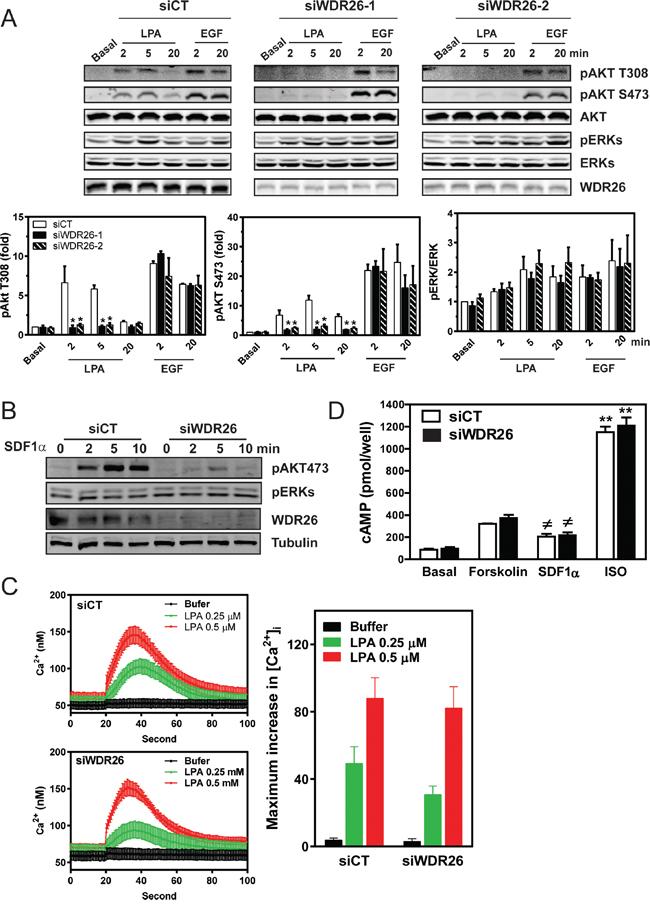 WDR26 selectively regulates Gβγ-mediated AKT phosphorylation.