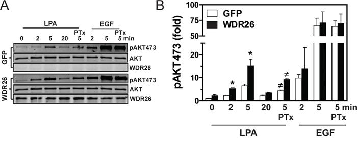 Overexpression of WDR26 in MCF7 cells enhances PI3K/AKT activation.