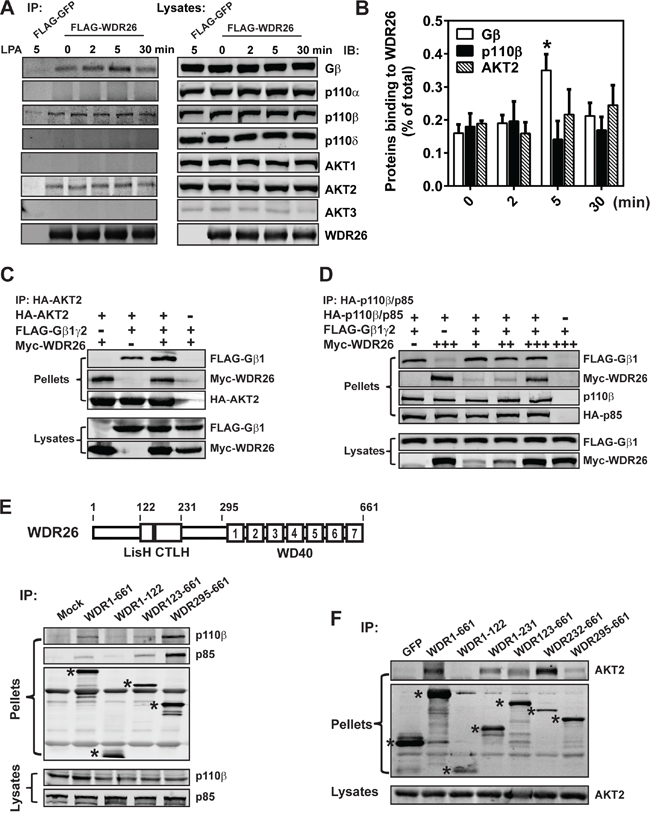 WDR26 fosters the interactions between Gβγ, PI3Kβ and AKT2.
