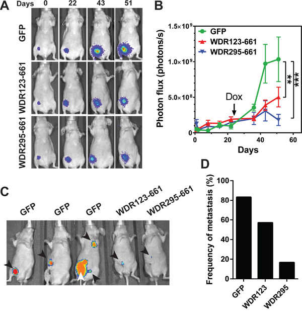 WDR26 mutants inhibits tumor growth and metastasis in mice.