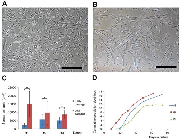 Morphology and proliferation kinetics of hBM-MSCs during