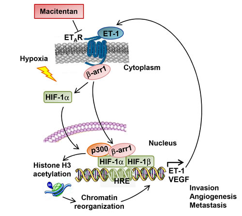 A schematic model describing the potential mechanism by which β-arr1 regulates ET-1/ET