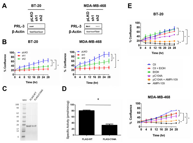 PRL-3 knock down and expression of catalytically impaired PRL-3 results in reduced growth of TNBC cells.