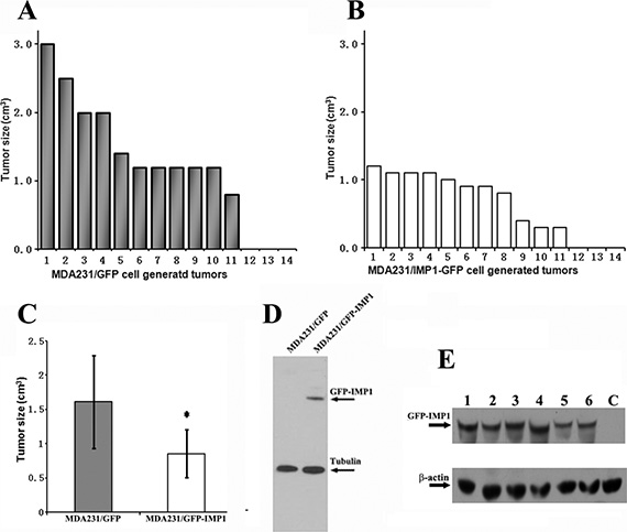 IMP1 expression inhibits the growth of MDA231 cell-derived breast tumors.