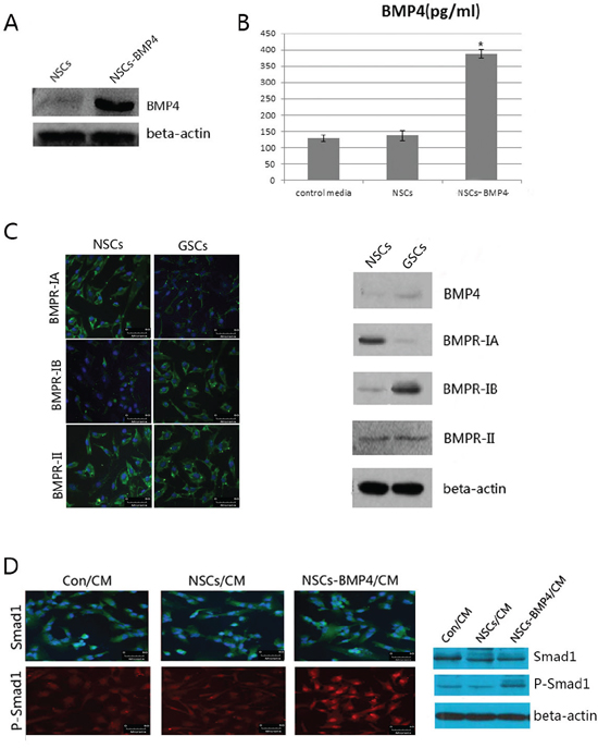 NSCs-BMP4-RFP could secret BMP4 and induce phosphorylation of Smad1 of hGSCs.