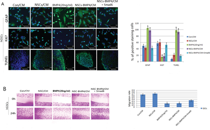 BMP4 induces differentiation and apoptosis, and also inhibits proliferation and migration of hGSCs.