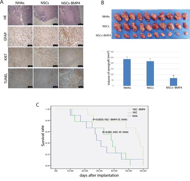 BMP4-loaded hNSCs inhibit the growth of xenografted glioma in vivo.