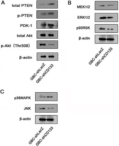 Down-regulation of CD133 reduces Akt phosphorylation.