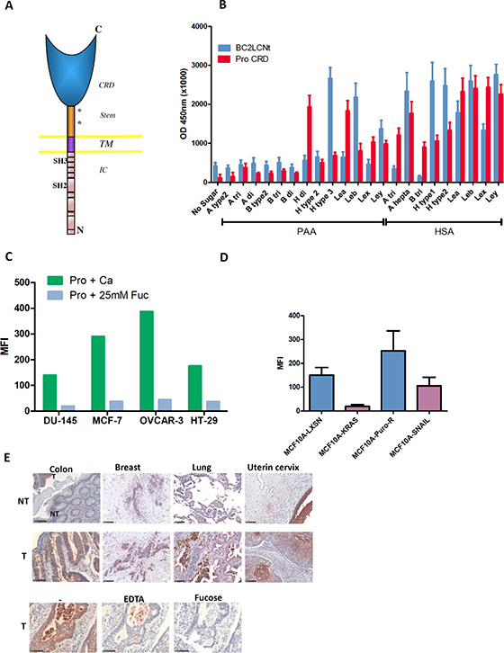 Prolectin is a human C-type lectin that recognizes similar fucosylated ligands as BC2L-C-Nt and efficiently binds to tumor cell lines and tumor tissues.