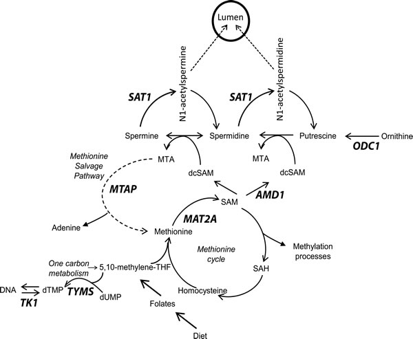 Overview of methionine cycle, polyamine biosynthesis and the methionine salvage pathway.