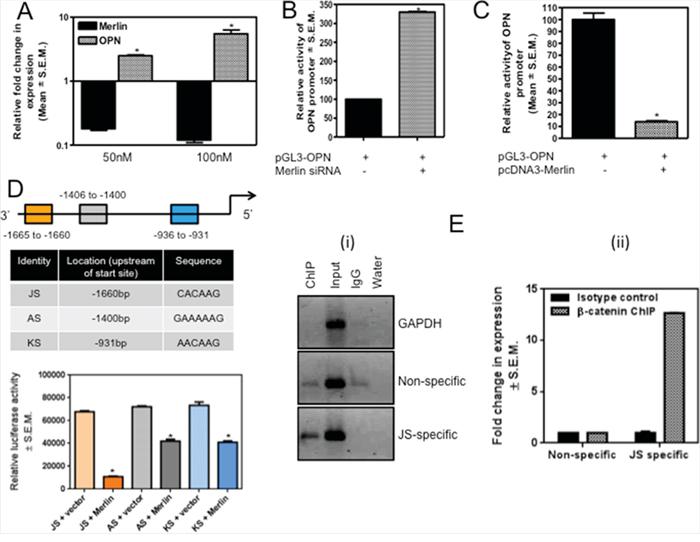 Merlin regulates OPN via modulation of the transcriptional activity of β-catenin.